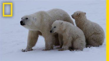 POLAR BEARS HUNTING FOR FOOD (David Attenborough)
